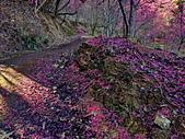 白毛台山  櫻花:IMG_20210213_092055_調整大小.jpg