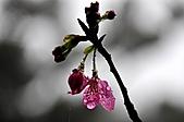 陽明山花季雨中:_DSC0108.JPG