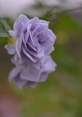 浪漫玫瑰花:DSC_0369_調整大小.JPG