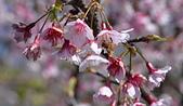 2021平菁街 第ㄧ棵滿開的櫻花:DSC_0362_調整大小.JPG