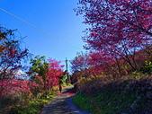 白毛台山  櫻花:IMG_20210213_090846_調整大小.jpg