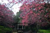陽明山 後山公園 櫻花:DSC_0194.jpg