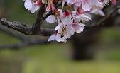 2021平菁街 第ㄧ棵滿開的櫻花:DSC_0403_調整大小.JPG