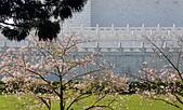 中正記念堂櫻花:DSC_0033_調整大小.JPG