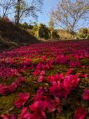 白毛台山  櫻花:IMG_20210213_094042_調整大小.jpg