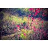 復興2017櫻花林:相簿封面