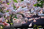春色滿園 花旗木:DSC_0252_調整大小.JPG