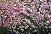 春色滿園 花旗木:DSC_0510_調整大小.JPG