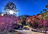 白毛台山  櫻花:IMG_20210213_090811_調整大小.jpg