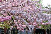 春色滿園 花旗木:DSC_0524_調整大小.JPG