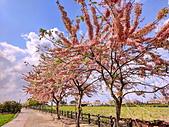 三月櫻~熱力綻放 花旗木:IMG_20200327_092353_調整大小.jpg