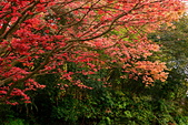 陽金公路的 紅槭:DSC_0032_調整大小.JPG
