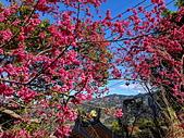 白毛台山  櫻花:IMG_20210213_090941_調整大小.jpg