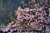 三芝 櫻花:DSC_0001_調整大小.JPG