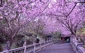 內湖碧山巖 櫻花道:DSC_0198.jpg