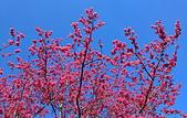 白毛台山  櫻花:IMG_20210213_090946_調整大小.jpg