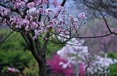 陽明山 櫻花+1:DSC_0298_調整大小.JPG