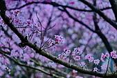 陽明山 櫻花+1:DSC_0275_調整大小.JPG