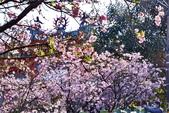 三芝 櫻花:DSC_0006_調整大小.JPG