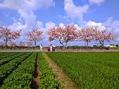 三月櫻~熱力綻放 花旗木:IMG_20200327_093921_調整大小.jpg