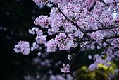 陽明山 櫻花+1:DSC_0281_調整大小.JPG