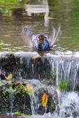 藍鵲 豪邁洗澡 2017: