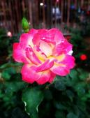 新生公園 玫瑰花:IMG_20210331_172905_調整大小.jpg