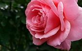 新生公園 玫瑰花:IMG_20210331_173802_調整大小.jpg