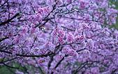 陽明山 櫻花+1:DSC_0273_調整大小.JPG