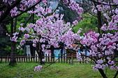 陽明山 櫻花+1:DSC_0292_調整大小.JPG