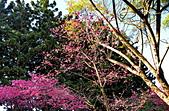 中正記念堂櫻花:DSC_0046_調整大小.JPG