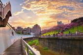 內湖 櫻花 2020:DSC_0840_調整大小.JPG