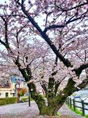日本 平成時期的最後櫻花...2019:104B73C2-B9F9-4221-9000-DAD923E6AA6A_調整大小.jpg