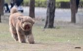 大型貴賓犬:DSC_8740_調整大小.JPG