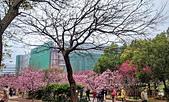 中科崴立櫻花公園 櫻花賞:IMG_20210212_162921_調整大小.jpg