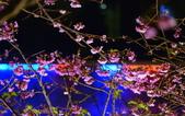 內湖 櫻花 2020:DSC_0444_調整大小.JPG