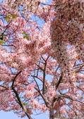 2020 與春天有約 三月 花旗木:IMG_20200327_090127_調整大小.jpg