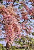 三月櫻~熱力綻放 花旗木:IMG_20200327_084950_調整大小.jpg
