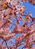 2020 與春天有約 三月 花旗木:IMG_20200327_090201_調整大小.jpg