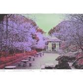 陽明山 後山公園 櫻花:相簿封面