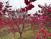 中科崴立櫻花公園 櫻花賞:IMG_20210212_160443_調整大小.jpg