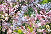 春色滿園 花旗木:DSC_0256_調整大小.JPG