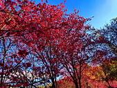 白毛台山  櫻花:IMG_20210213_091557_調整大小.jpg