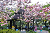 春色滿園 花旗木:DSC_0259_調整大小.JPG