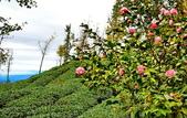 大崙山茶園:DSC_0933_調整大小.JPG