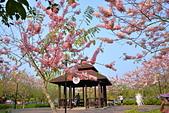 春色滿園 花旗木:DSC_0309_調整大小.JPG