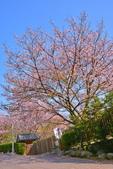 陽明山 橘餐廳 櫻花賞 4.10:DSC_0055_調整大小.JPG