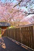 陽明山 橘餐廳 櫻花賞 4.10:DSC_0072_調整大小.JPG