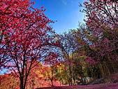 白毛台山  櫻花:IMG_20210213_091551_調整大小.jpg