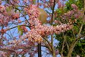 春色滿園 花旗木:DSC_0348_調整大小.JPG